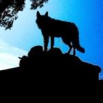 Wolf auf Kreta